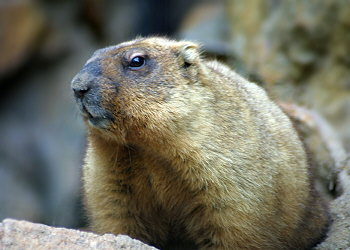 Who and Where are we? | The Alpine Marmot Project