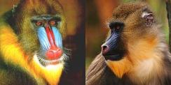 mandrilles